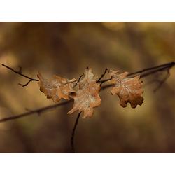 Oak | Дуб