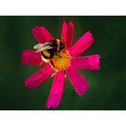 Bumblebee | Шмель