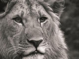 Категория постеров и плакатов Лев