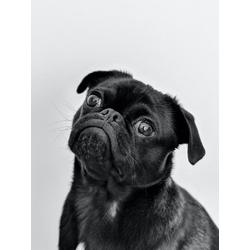 Dog | Собака - Мопс
