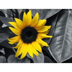 Sunflower | Подсолнух