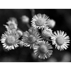 Chamomile | Ромашки
