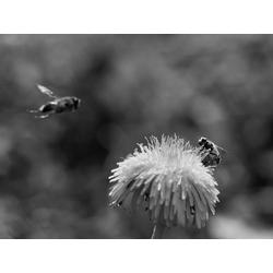 Honeybee | Пчела