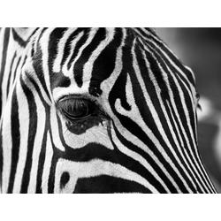Zebra   Зебра