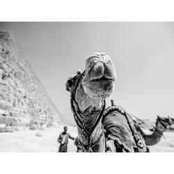 Camel | Верблюд