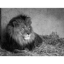 Lion | Лев