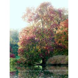 Monet Claude | Клод Моне | Дерево на воде
