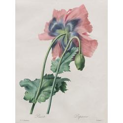Pierre-Joseph Redoute | Пьер-Жозеф Редуте | Ботаника