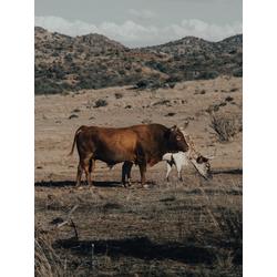 Cows | Коровы