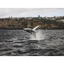 Whale | Кит