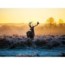 Deer   Олень