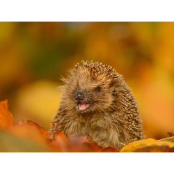 Hedgehog | Ёжик