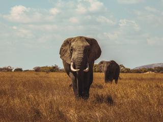 Категория постеров и плакатов Слоны