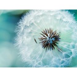 Dandelions   Одуванчики