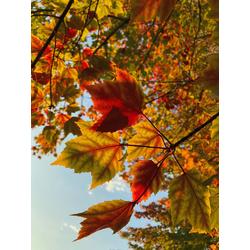 Maple | Клён