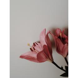 Lilium | Лилия