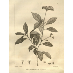 Tournefortia mutabilis | Турнефорция