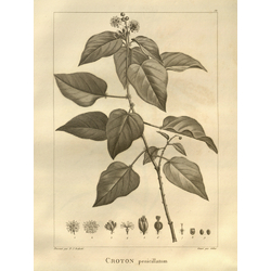 Croton   Кротон