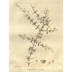 Colletia serratifolia | Коллетия