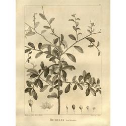 Bumelia | Сидероксилон