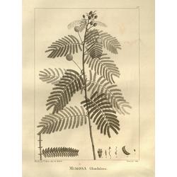 Mimosa glandulosa | Мимоза
