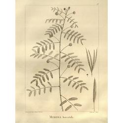 Mimosa horridula | Мимоза