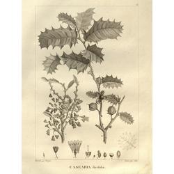 Casearia ilicifolia | Казеария