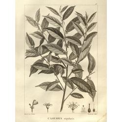 Casearia stipularis | Казеария