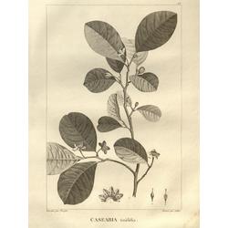 Casearia tinifolia | Казеария