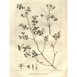 Banisteria parvifolia | Банистериопсис каапи