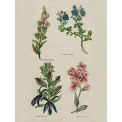 Veronica Fruticulosa, Veronica Saxatilis, Lobelia Speciosa, Hesperis Speciosa