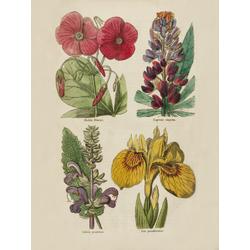 Oxalis Bowiei, Lupinus Elegans, Salvia Pratensis, Iris Pseudacrus