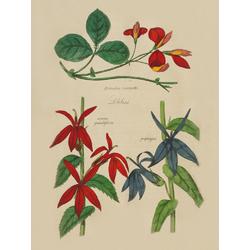 Kennedia Marryath, Azurea Grandiflora, Propenqua