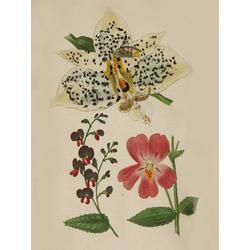 Slanhopea Oculata, Chorojema Cordata, Mimulus Harrisonia