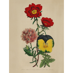 Veudena Buistii, Portulacca Thellusonii, Lord Nelson Pansy