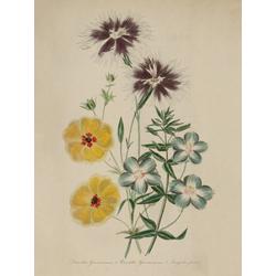 Dianthus Superbus, Potentilla Gauneriana, Anagallis