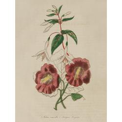 Fuchsia Rosea-Alba, Marlynia Fragians