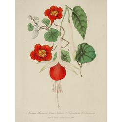 Fuchsia Queen Victoria, Tropaeolum Lobbianum