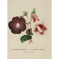 Achimenes Liepmannii, Gloxinia Cartonii
