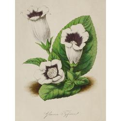 Gloxinia Fyjiana