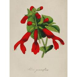 Salvia Gesneriflora