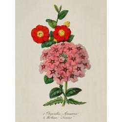 Browallia Jamesonii, Verbena Junius
