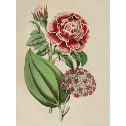 Narcisse De Salvandy Rose, Hoya Purpureo-Fusca