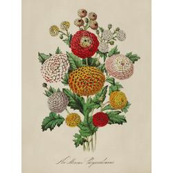 Chrysanthemum Indicum Minimum