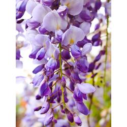 Lilies | Лилии