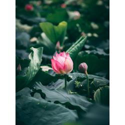 Lotus   Лотос