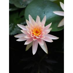 Lotus | Лотос