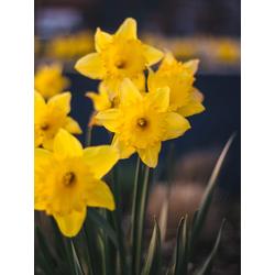 Narcissus   Нарцисс