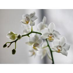 Orchid   Орхидеи