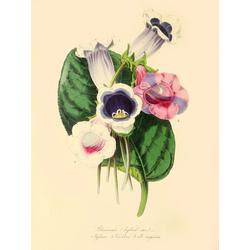 Gloxinia (Hybrid Varieties)